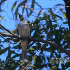 Philemon corniculatus (Noisy Friarbird) at Garrad Reserve Walking Track - 23 Jul 2015 by Charles Dove