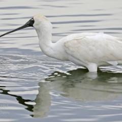 Platalea regia (Royal Spoonbill) at Burrill Lake, NSW - 21 Jul 2015 by Charles Dove