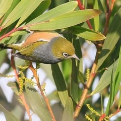 Zosterops lateralis (Silvereye) at Coomee Nulunga Cultural Walking Track - 20 Jul 2015 by Charles Dove