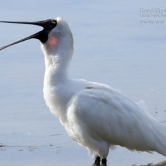 Platalea regia (Royal Spoonbill) at Wairo Beach and Dolphin Point - 4 Jul 2015 by Charles Dove