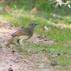 Ptilonorhynchus violaceus (Satin Bowerbird) at Wairo Beach and Dolphin Point - 3 Jul 2015 by Charles Dove