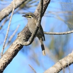 Caligavis chrysops (Yellow-faced Honeyeater) at Conjola Bushcare - 2 Jul 2015 by Charles Dove