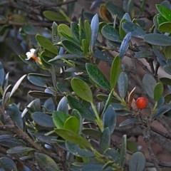 Alyxia buxifolia (Sea Box) at Batemans Marine Park - 29 Jun 2018 by MaxCampbell