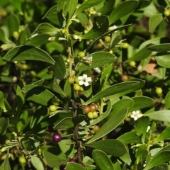 Myoporum boninense subsp. australe (Boobialla) at Undefined - 29 Jun 2018 by MaxCampbell