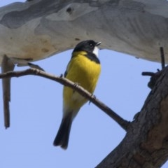Pachycephala pectoralis (Golden Whistler) at ANBG - 17 Apr 2018 by Alison Milton