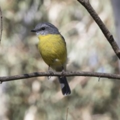 Eopsaltria australis (Eastern Yellow Robin) at ANBG - 17 Apr 2018 by Alison Milton