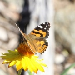 Vanessa kershawi (Australian Painted Lady) at ANBG - 17 Apr 2018 by Alison Milton