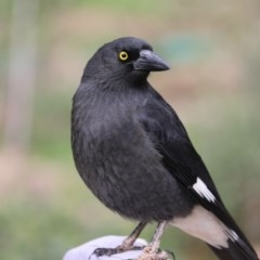 Strepera graculina (Pied Currawong) at Higgins, ACT - 7 Jul 2018 by Alison Milton