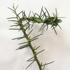 Acacia genistifolia at Hughes Garran Woodland - 30 May 2018