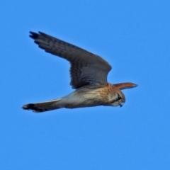 Falco cenchroides at Jerrabomberra Wetlands - 8 Jul 2018