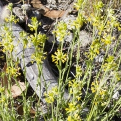 Pimelea curviflora at Illilanga & Baroona - 3 Nov 2014