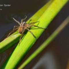 Unidentified Spider /  Scorpion (TBC) at Garrad Reserve Walking Track - 22 Jan 2015 by Charles Dove