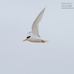 Sterna nereis (Fairy Tern) at Cunjurong Point, NSW - 19 Jan 2015 by CharlesDove