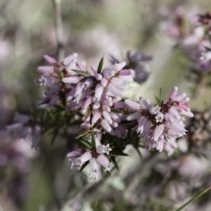 Lissanthe strigosa subsp. subulata at Michelago, NSW - 28 Sep 2010