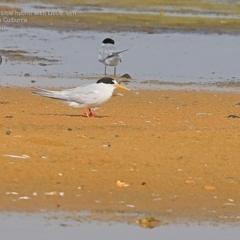 Sterna nereis (Fairy Tern) at Jervis Bay National Park - 19 Jan 2015 by CharlesDove
