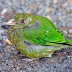 Ailuroedus crassirostris (Green Catbird) at Yatte Yattah, NSW - 21 Jan 2015 by CharlesDove