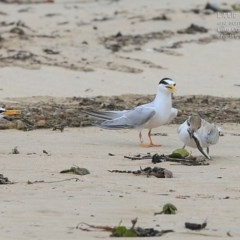 Sternula albifrons (Little Tern) at Cunjurong Point, NSW - 24 Jan 2015 by CharlesDove