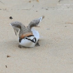 Charadrius ruficapillus (Red-capped Plover) at Cunjurong Point, NSW - 19 Jan 2015 by CharlesDove