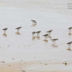 Calidris (Ereunetes) ruficollis (Red-necked Stint) at Conjola Bushcare - 19 Jan 2015 by Charles Dove