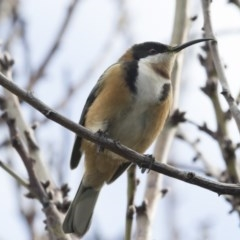 Acanthorhynchus tenuirostris (Eastern Spinebill) at Higgins, ACT - 8 Jul 2018 by Alison Milton