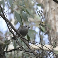 Colluricincla harmonica (Grey Shrike-thrush) at ANBG - 22 May 2018 by Alison Milton