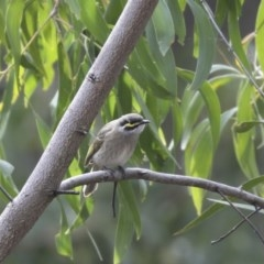 Caligavis chrysops (Yellow-faced Honeyeater) at ANBG - 22 May 2018 by Alison Milton