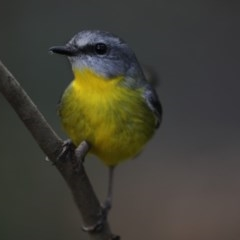 Eopsaltria australis (Eastern Yellow Robin) at ANBG - 22 May 2018 by Alison Milton