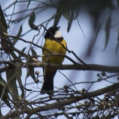 Pachycephala pectoralis (Golden Whistler) at ANBG - 29 Jun 2018 by Alison Milton
