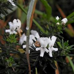 Westringia fruticosa (Native Rosemary) at Batemans Marine Park - 29 Jun 2018 by MaxCampbell