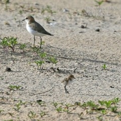 Charadrius ruficapillus (Red-capped Plover) at Cunjurong Point, NSW - 5 Jan 2015 by CharlesDove