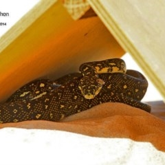 Morelia spilota spilota (Diamond Python) at Cunjurong Point, NSW - 1 Jan 2015 by Charles Dove