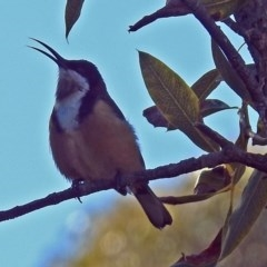 Acanthorhynchus tenuirostris (Eastern Spinebill) at ANBG - 9 Jul 2018 by RodDeb