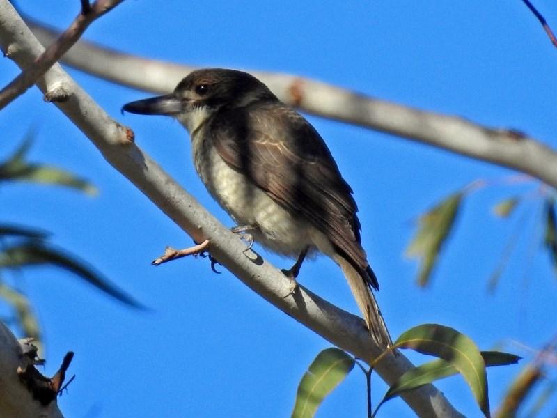 Cracticus torquatus at Canberra Central, ACT - 9 Jul 2018