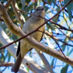 Pachycephala pectoralis (Golden Whistler) at ANBG - 9 Jul 2018 by RodDeb