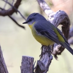 Eopsaltria australis (Eastern Yellow Robin) at ANBG - 3 Jul 2018 by Alison Milton