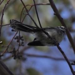 Rhipidura fuliginosa (Grey Fantail) at ANBG - 3 Jul 2018 by Alison Milton