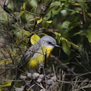 Eopsaltria australis at ANBG - 3 Jul 2018