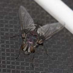 Rutilia sp. (genus) (A Rutilia bristle fly, subgenus unknown) at Higgins, ACT - 27 Apr 2018 by Alison Milton