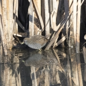 Porzana fluminea at Jerrabomberra Wetlands - 28 Apr 2018