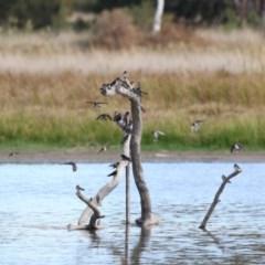 Hirundo neoxena (Welcome Swallow) at Jerrabomberra Wetlands - 28 Apr 2018 by Alison Milton