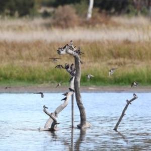 Hirundo neoxena at Jerrabomberra Wetlands - 28 Apr 2018