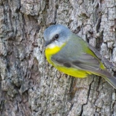 Eopsaltria australis (Eastern Yellow Robin) at The Basin Walking Track - 9 May 2018 by Robbed