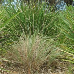 Poa poiformis (Blue Tussock Grass) at Undefined - 27 Feb 2018 by JackieMiles