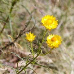 Xerochrysum viscosum (Sticky everlasting) at Illilanga & Baroona - 30 Nov 2014 by Illilanga