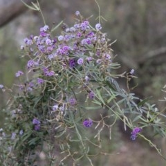 Glycine clandestina (Twining glycine) at Illilanga & Baroona - 6 Nov 2010 by Illilanga