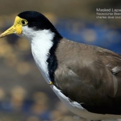 Vanellus miles (Masked Lapwing) at South Pacific Heathland Reserve - 14 Feb 2015 by Charles Dove