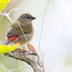 Neochmia temporalis (Red-browed Finch) at Garrad Reserve Walking Track - 20 Feb 2015 by Charles Dove