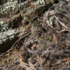 Cheilanthes distans (Bristly cloak fern) at Molonglo Gorge - 11 Jul 2018 by MichaelMulvaney