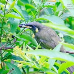Caligavis chrysops (Yellow-faced Honeyeater) at South Pacific Heathland Reserve - 11 Feb 2015 by Charles Dove