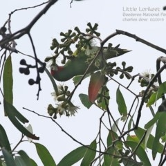 Glossopsitta pusilla (Little Lorikeet) at Booderee National Park - 14 Feb 2015 by Charles Dove